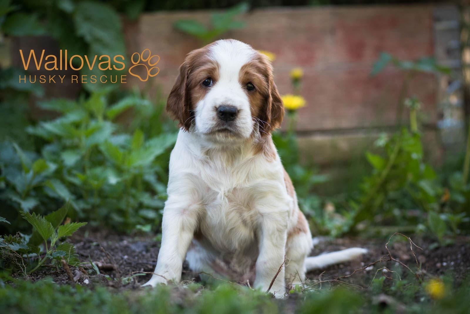 Kennel Wallova - Welsh Springer Spaniel | Wallovas Husky